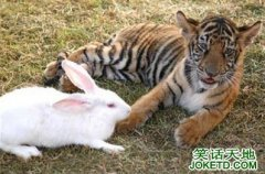 小白兔请老虎吃饭